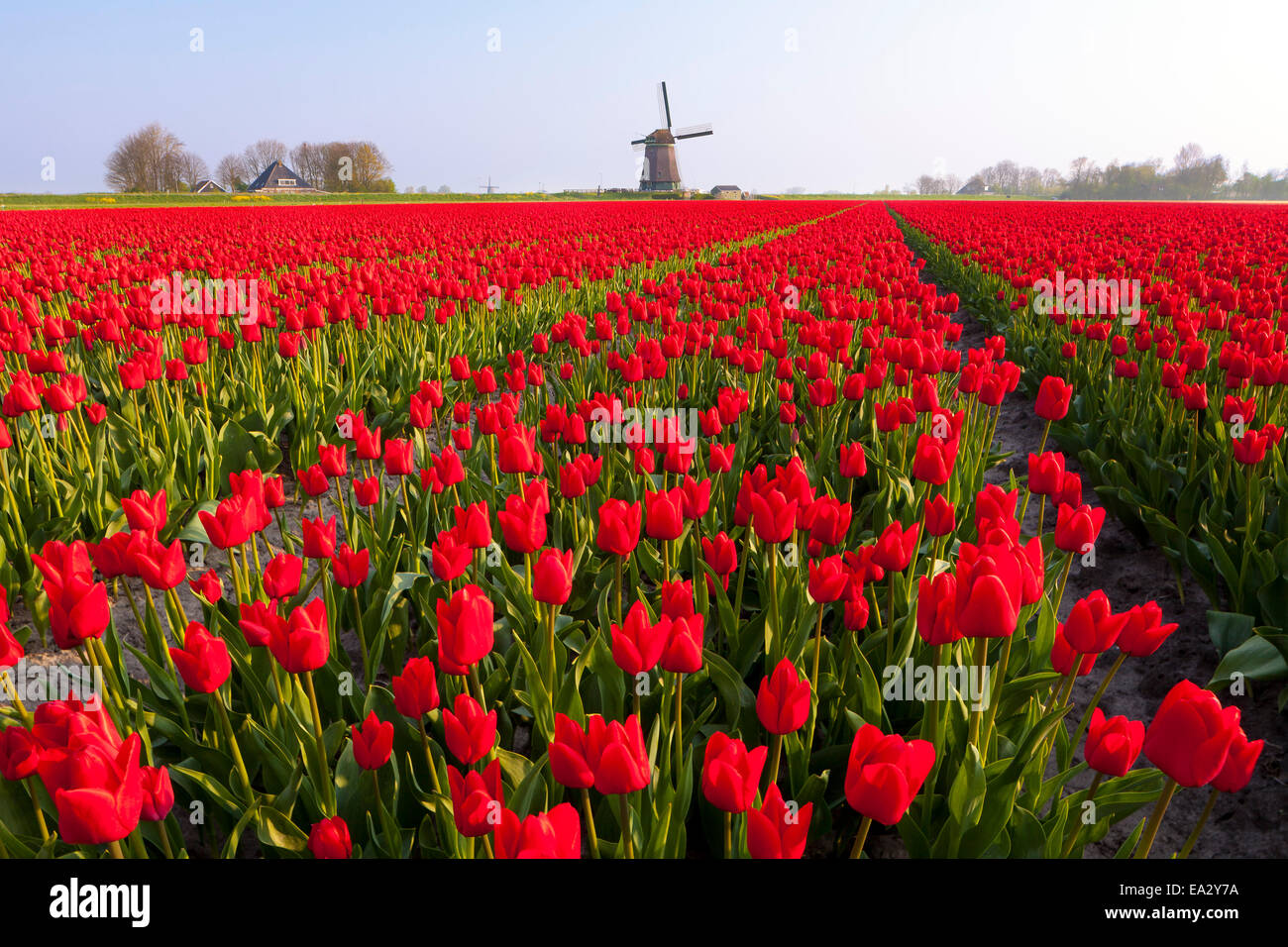 Field of tulips and windmill, near Obdam, North Holland, Netherlands, Europe - Stock Image