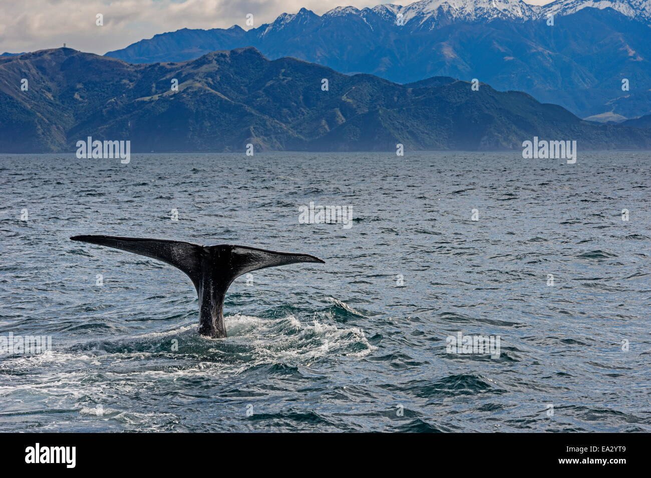 Fluke of Sperm whale diving, Kaikoura, South Island, New Zealand, Pacific - Stock Image