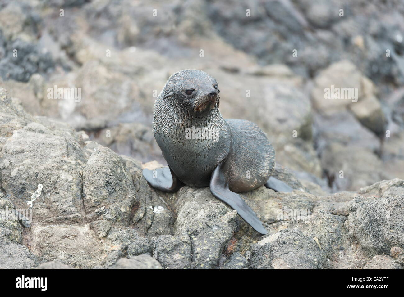 New Zealand Fur Seal Pup at Otago Peninsula, Dunedin, Otago, South Island, New Zealand, Pacific - Stock Image