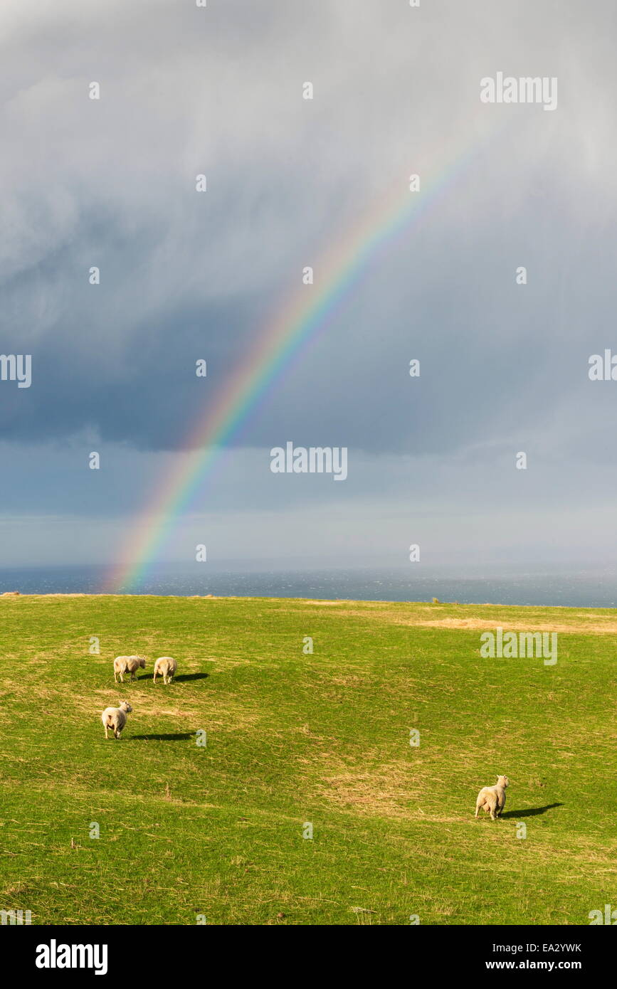 Sheep grazing under a rainbow at Otago Peninsula, Otago, South Island, New Zealand, Pacific - Stock Image