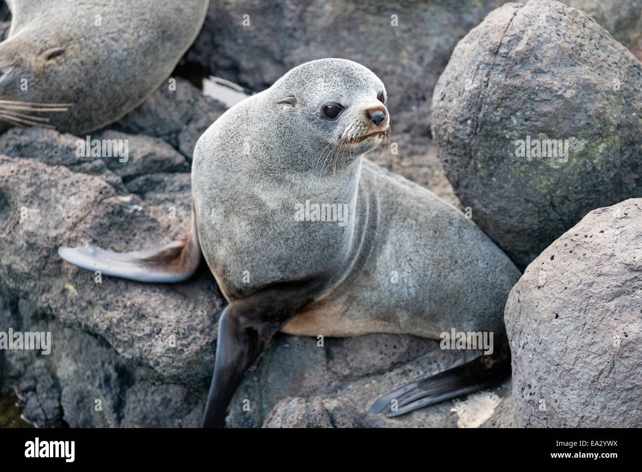 New Zealand Fur seal at Otago Peninsula, Dunedin, South Island, Otago, New Zealand, Pacific - Stock Image
