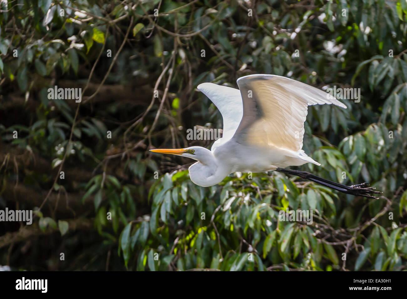 An adult eastern great egret (Ardea alba) in flight on the Daintree River, Daintree rain forest, Queensland, Australia, - Stock Image