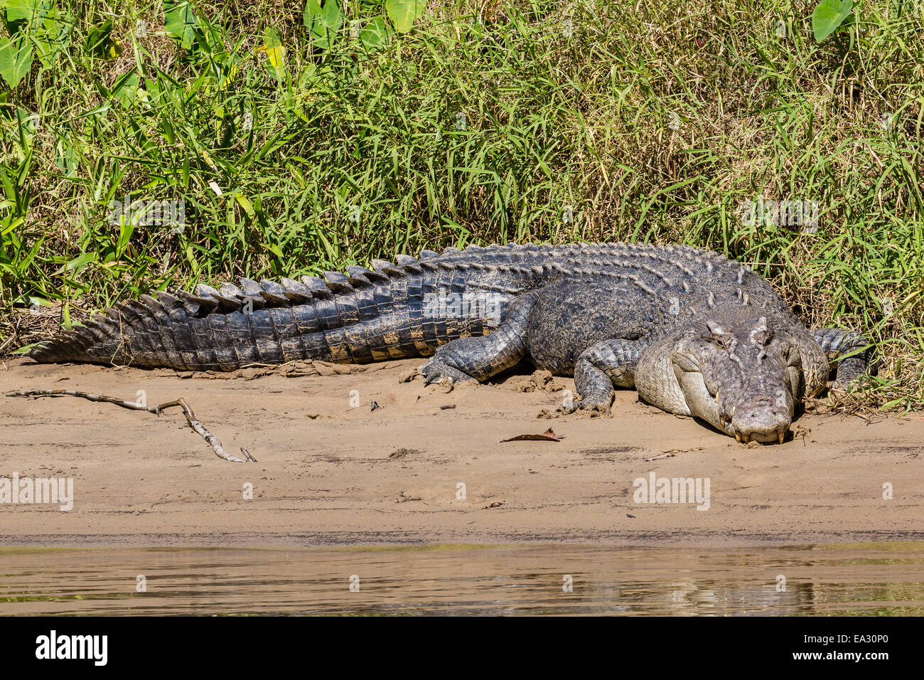 Adult saltwater crocodile (Crocodylus porosus), on the banks of the Daintree River, Daintree rain forest, Queensland, - Stock Image