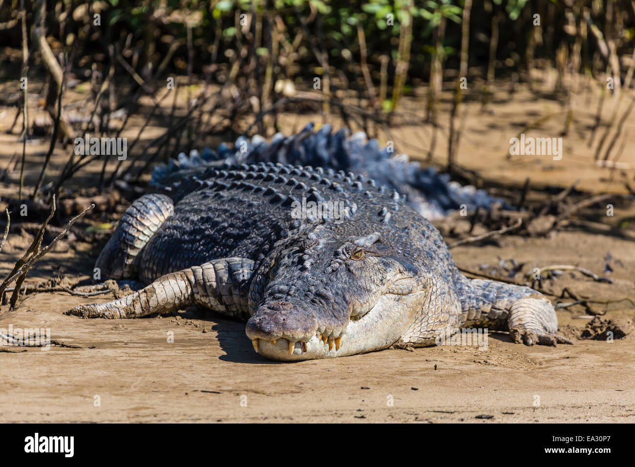 Adult saltwater crocodile (Crocodylus porosus), on the banks of the Daintree River, Daintree rain forest, Queensland, - Stock Image