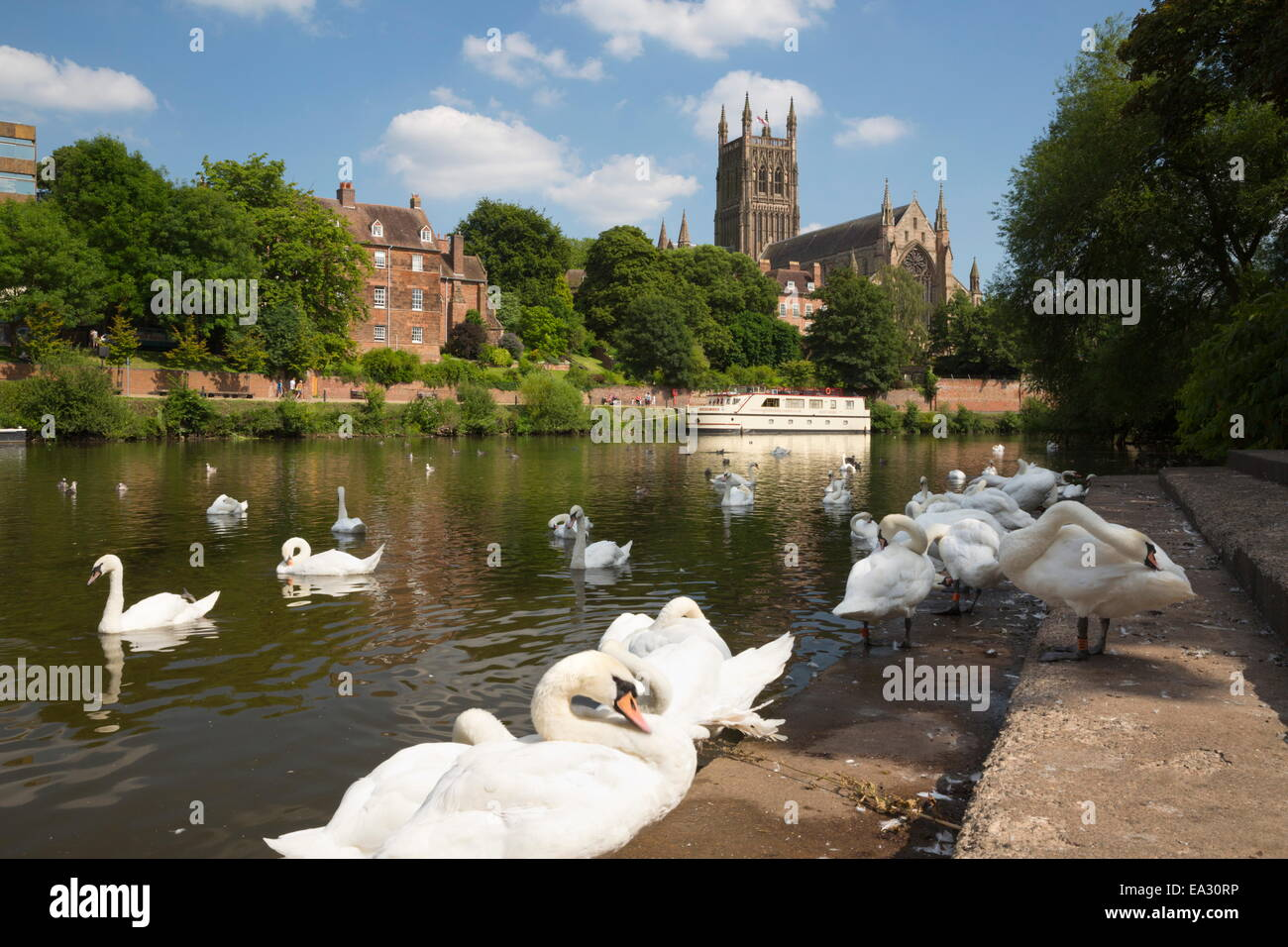 Swans beside the River Severn and Worcester Cathedral, Worcester, Worcestershire, England, United Kingdom, Europe - Stock Image
