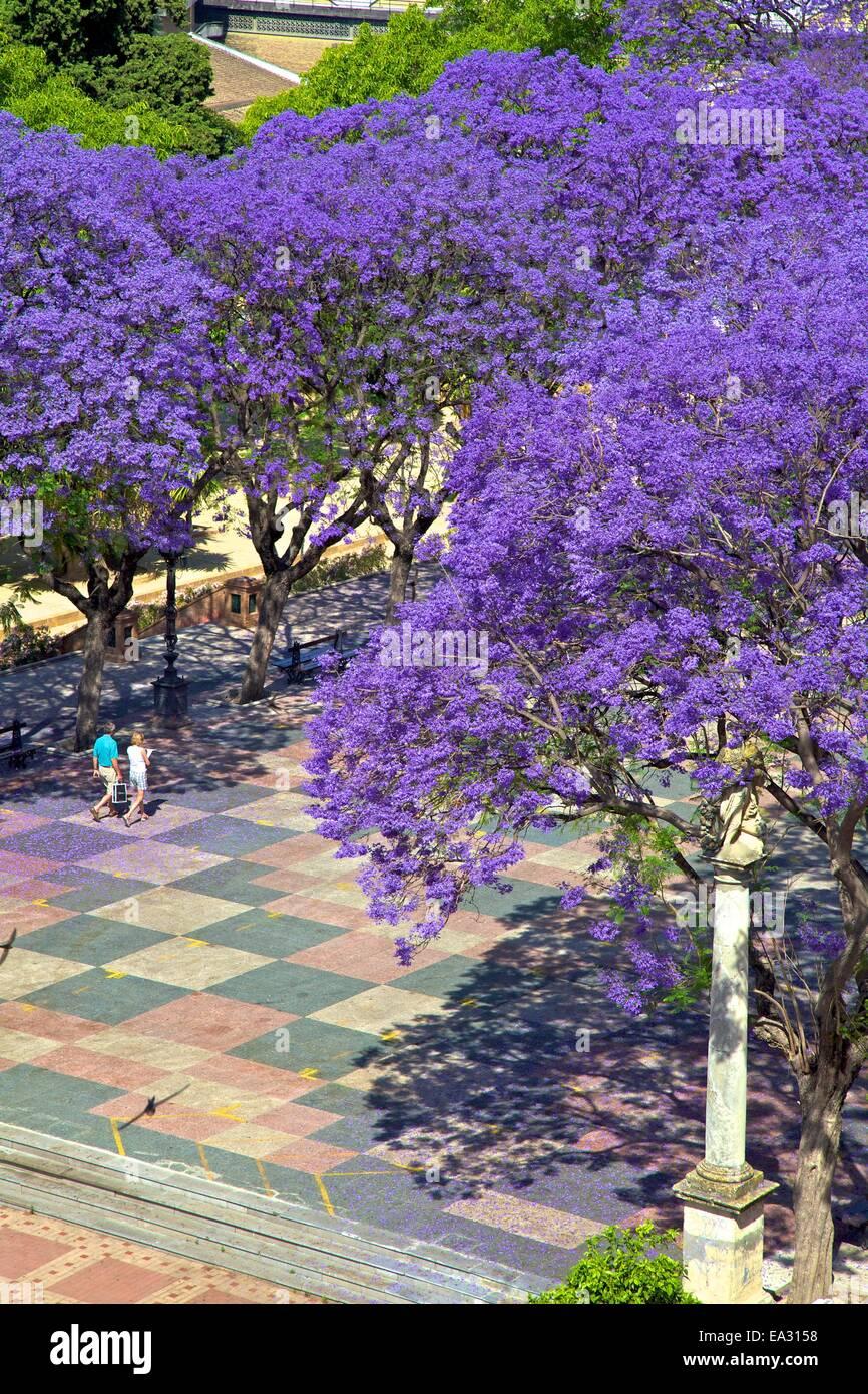 Blossoming Jacaranda trees, Alameda Vieja, Jerez de la Frontera, Cadiz Province, Andalucia, Spain, Europe - Stock Image