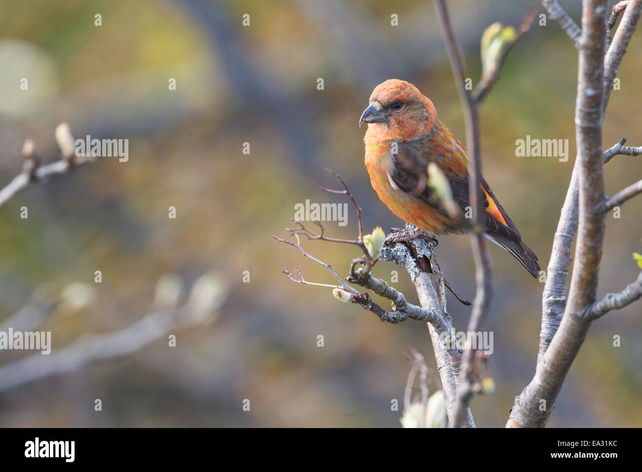 Common Crossbill Stock Photo