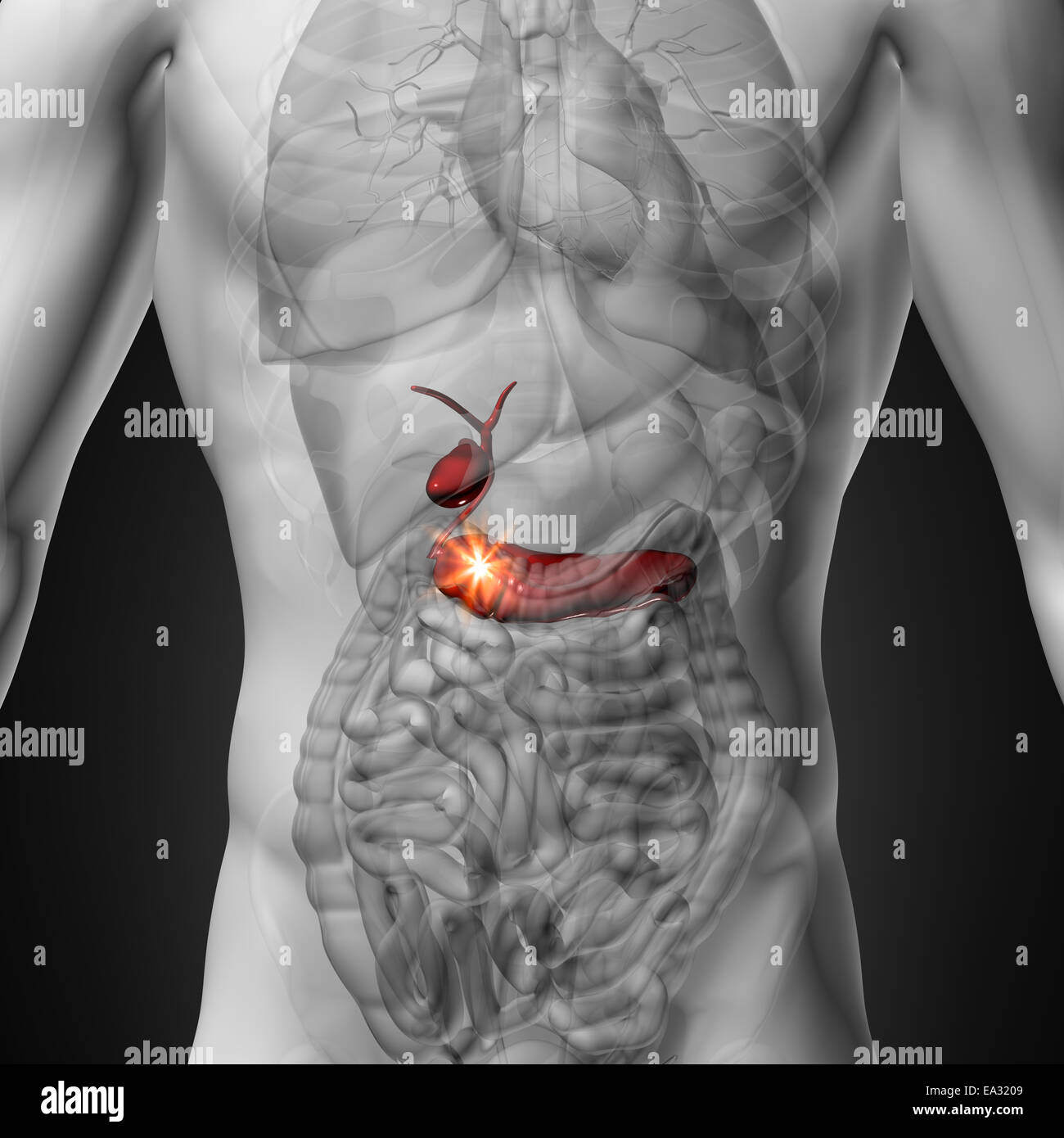 Gallbladder / Pancreas - Male anatomy of human organs - x-ray view ...