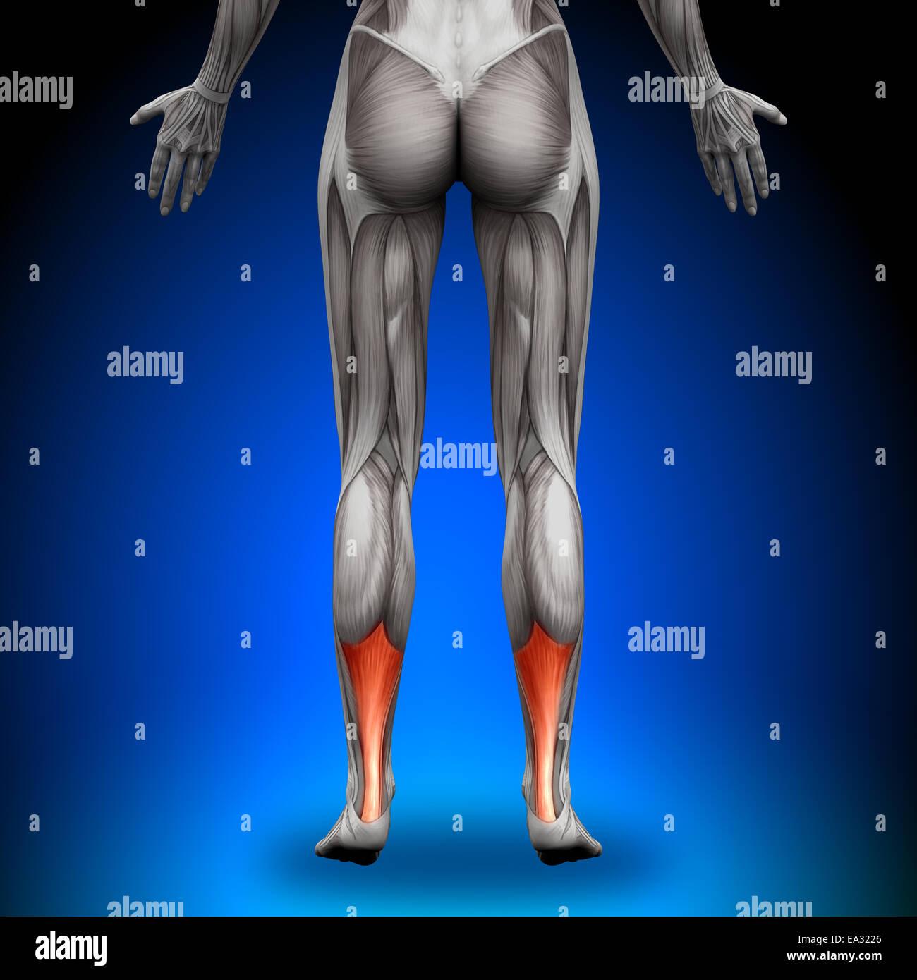 Achilles Tendon - Male Anatomy Muscles Stock Photo: 75055518 - Alamy
