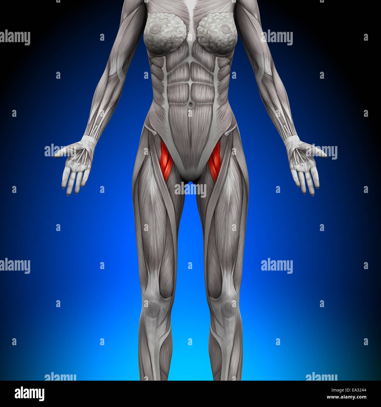 Thighs - Female Anatomy Muscles Stock Photo: 75055572 - Alamy