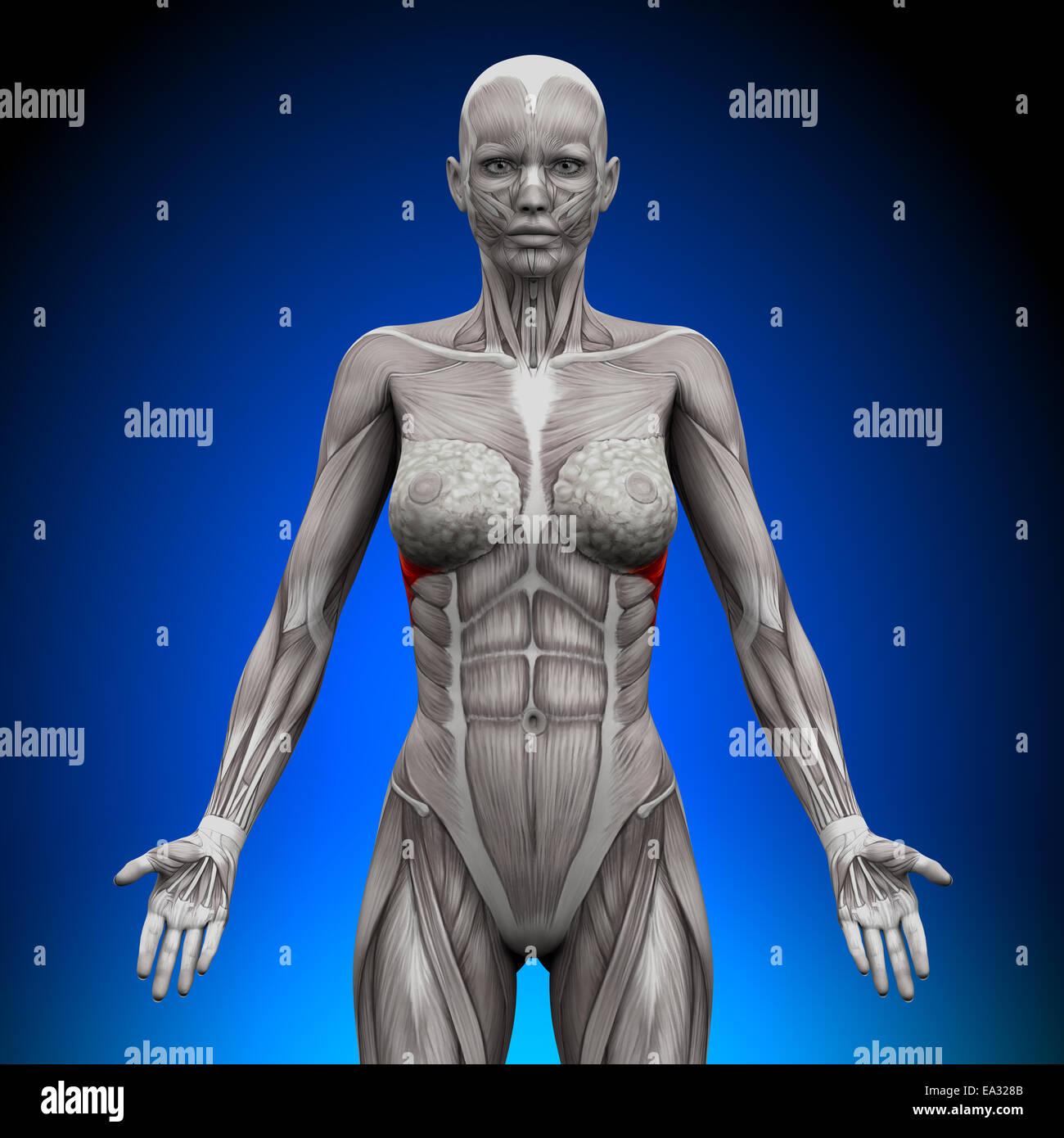 Serratus Anterior - Female Anatomy Muscles - Stock Image