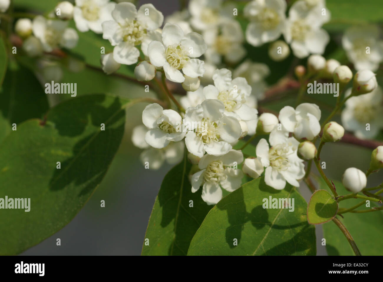 Showy cotoneaster - Stock Image