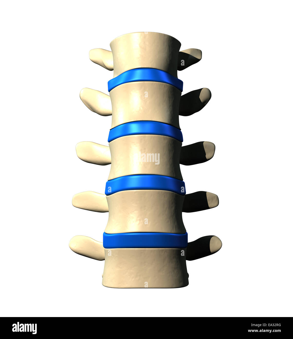 Lumbar Spine - Anterior view / Front view - Stock Image