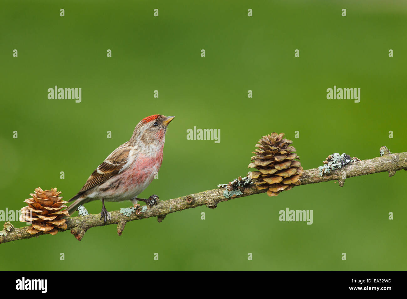 (common) redpoll Stock Photo