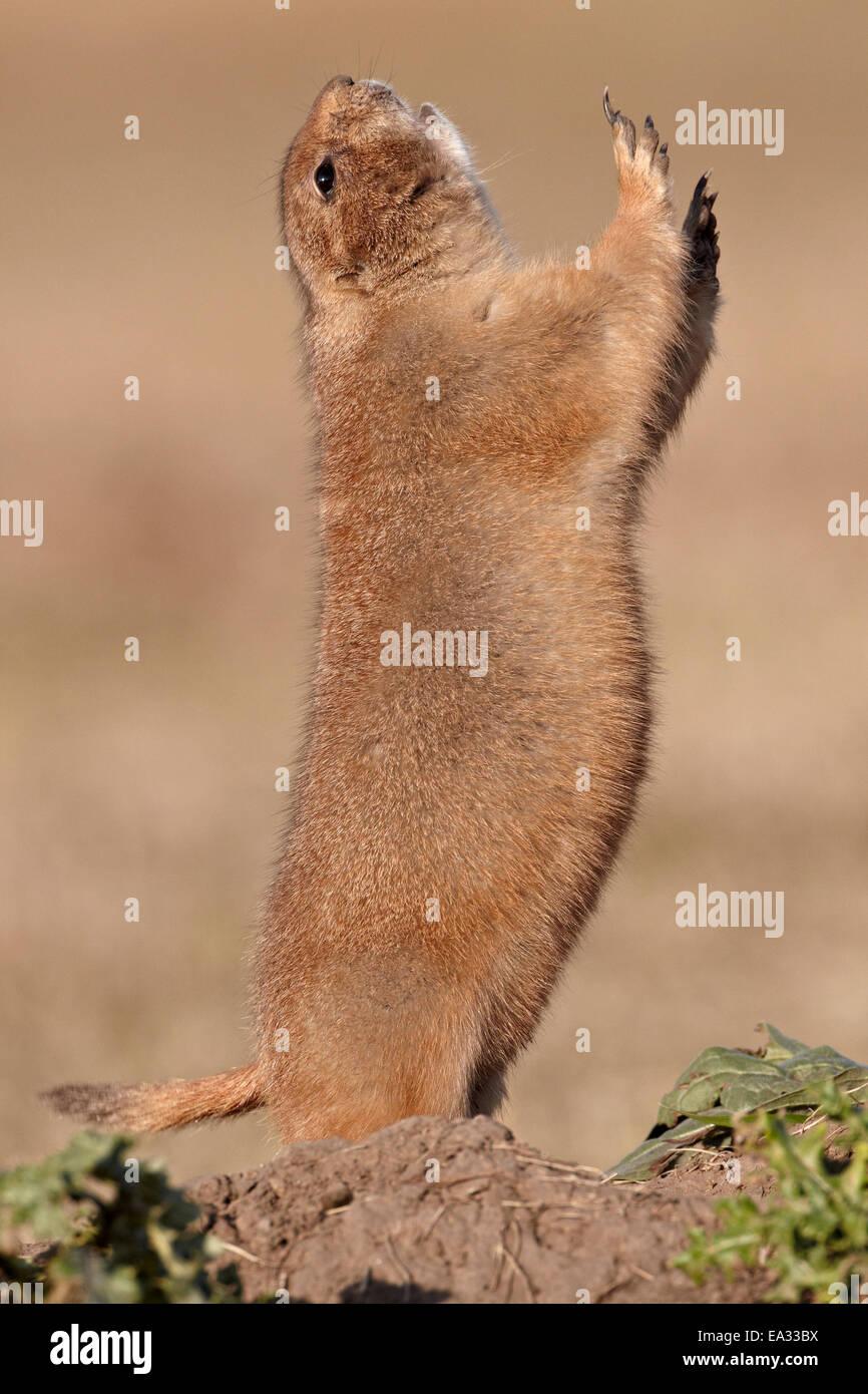 Black-tailed prairie dog (blacktail prairie dog) (Cynomys ludovicianus) calling, Custer State Park, South Dakota, - Stock Image