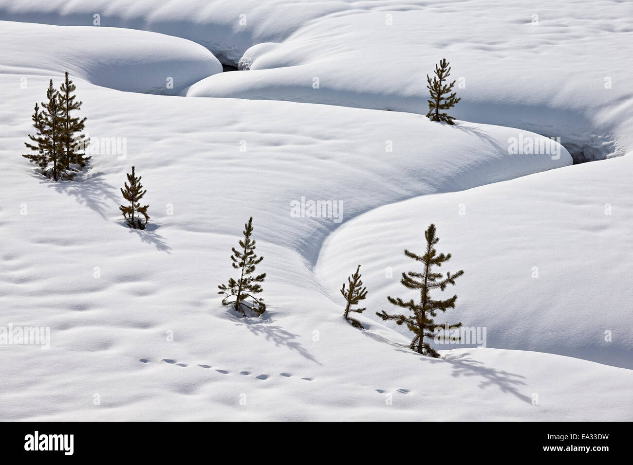 Evergreen trees in the snow with a meandering stream, Grand Teton National Park, Wyoming, USA - Stock Image