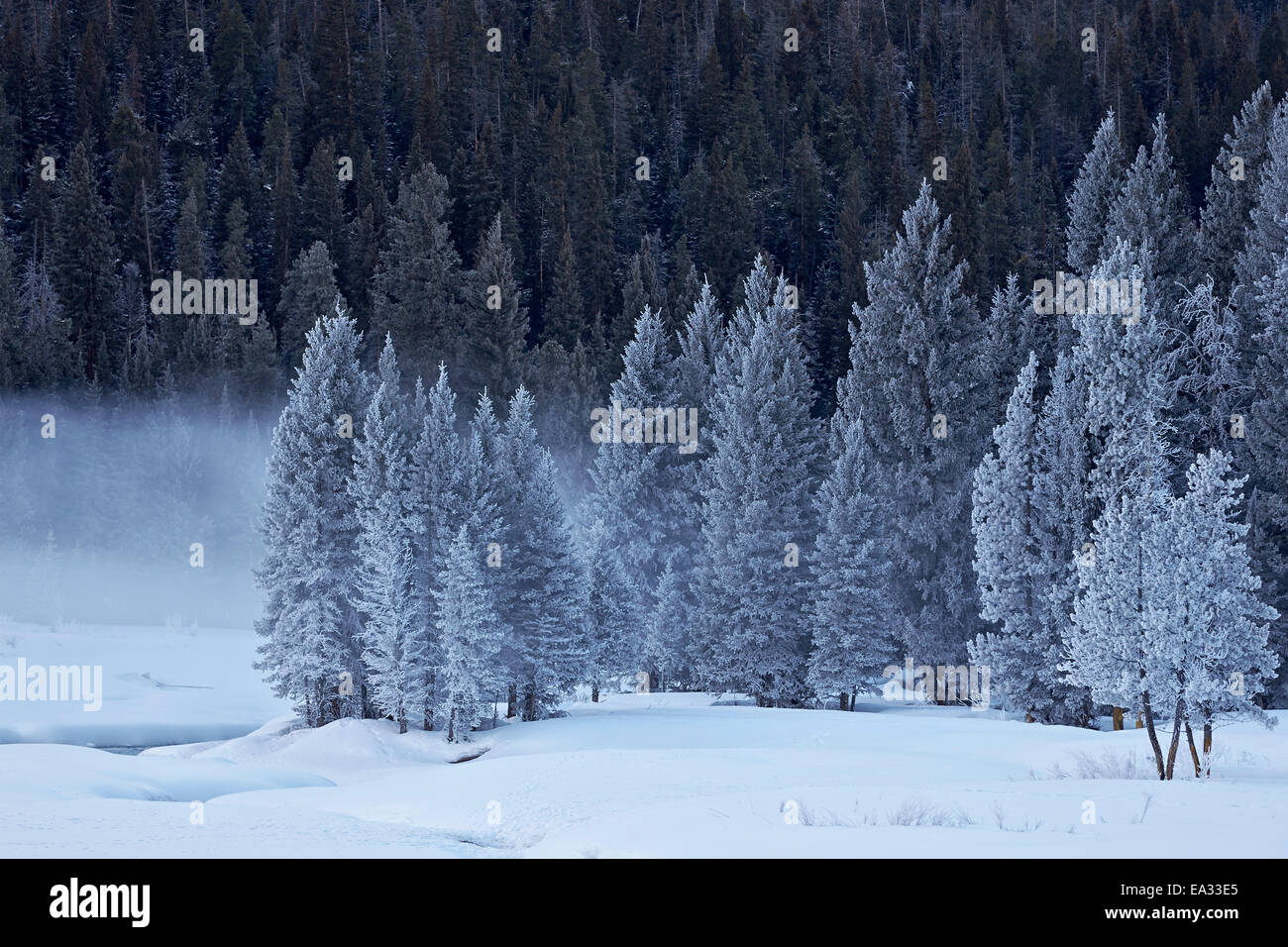 Frost-covered evergreen trees, Yellowstone National Park, UNESCO World Heritage Site, Wyoming, USA - Stock Image