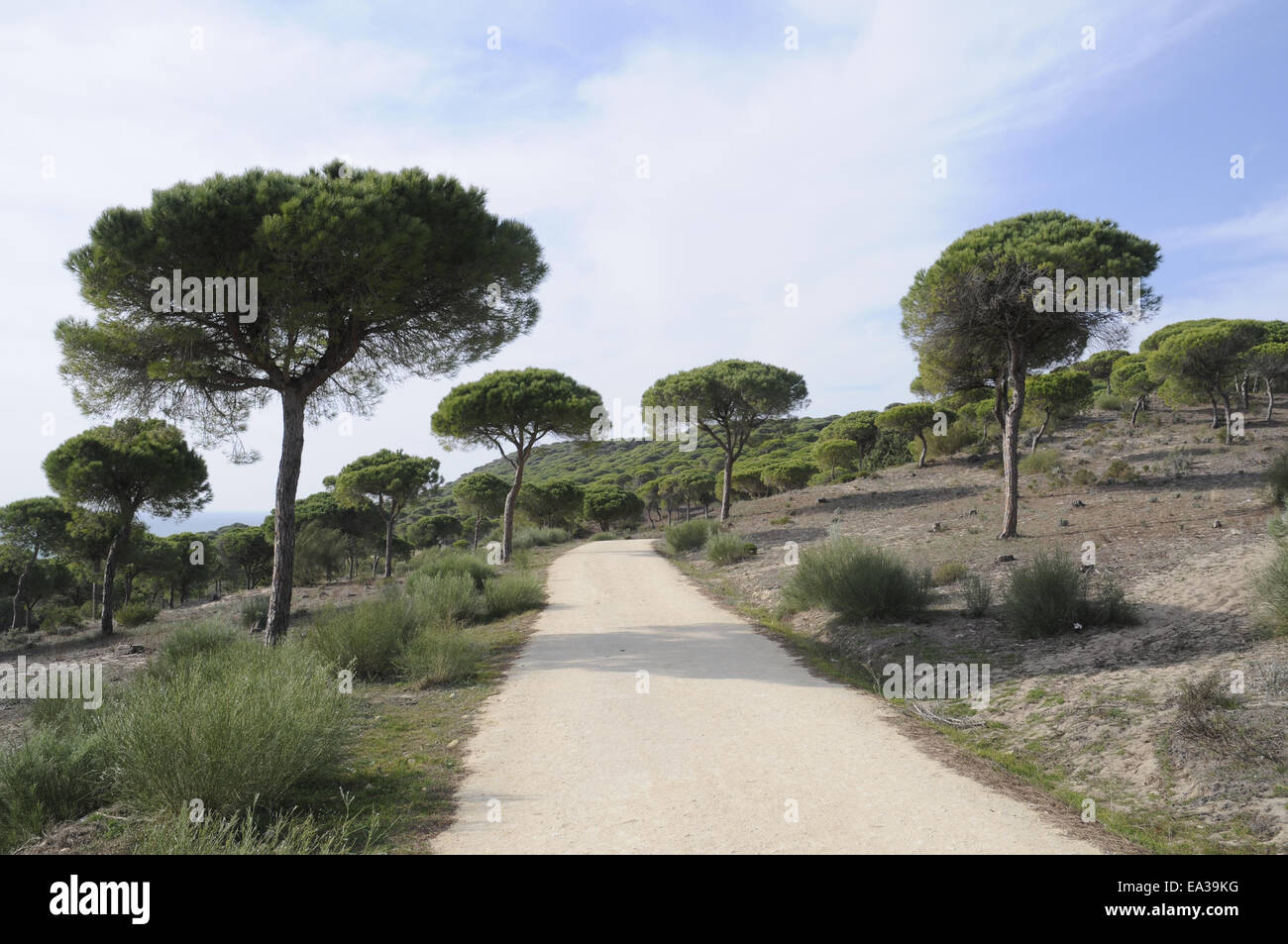 Pine forest, Barbate, Spain Stock Photo