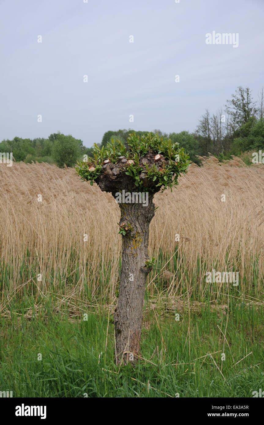 Pollard willow - Stock Image