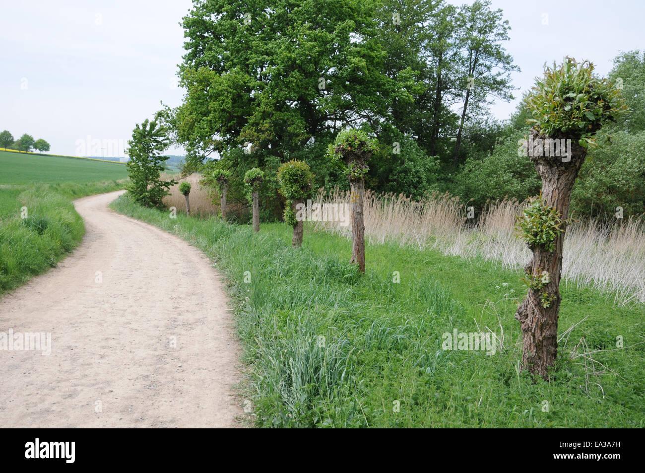 Pollard willows - Stock Image