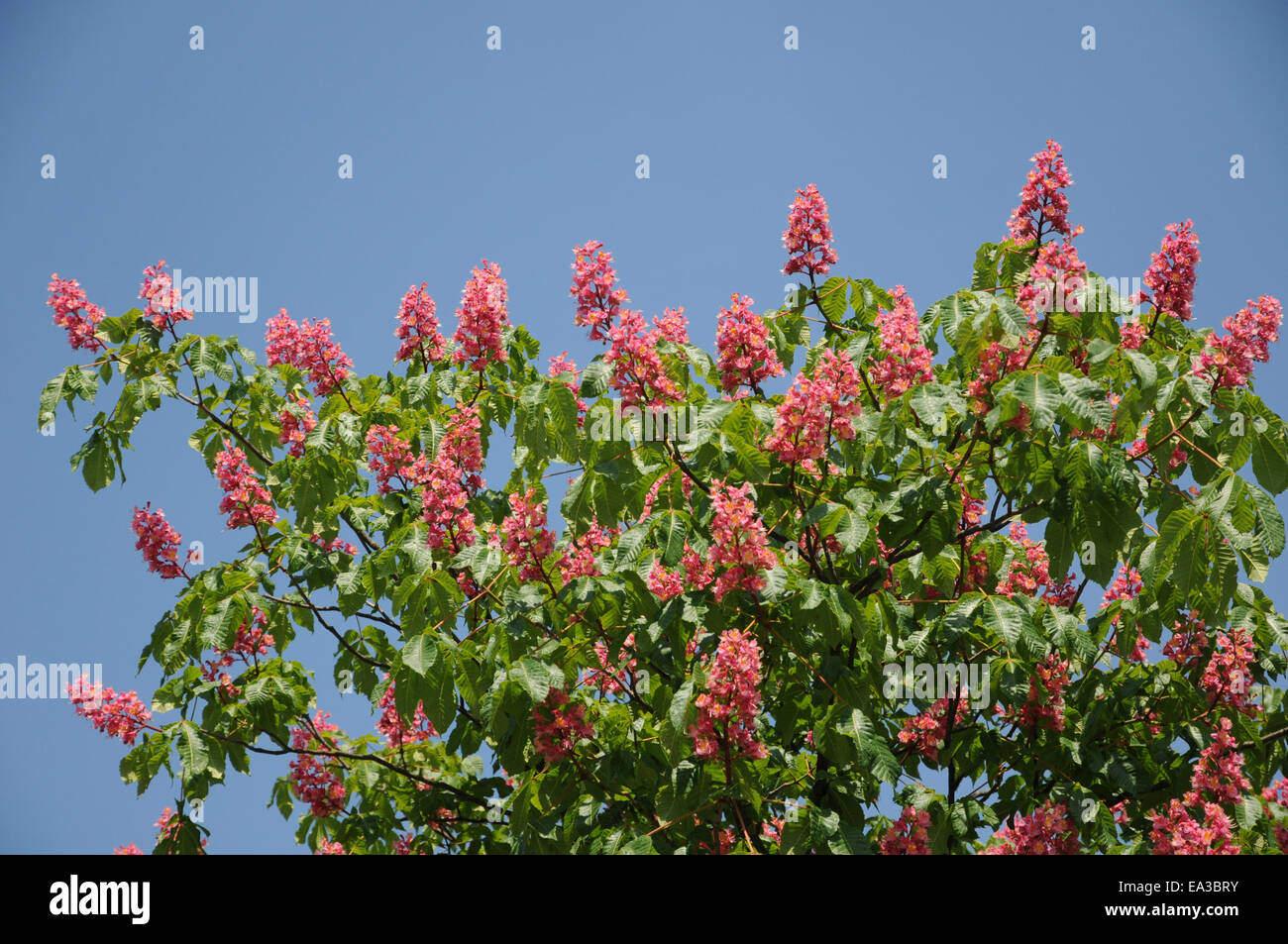 Red horse chestnut Stock Photo