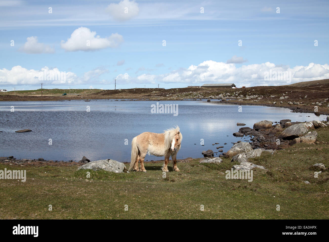 Pony at Loch on South Uist - Stock Image