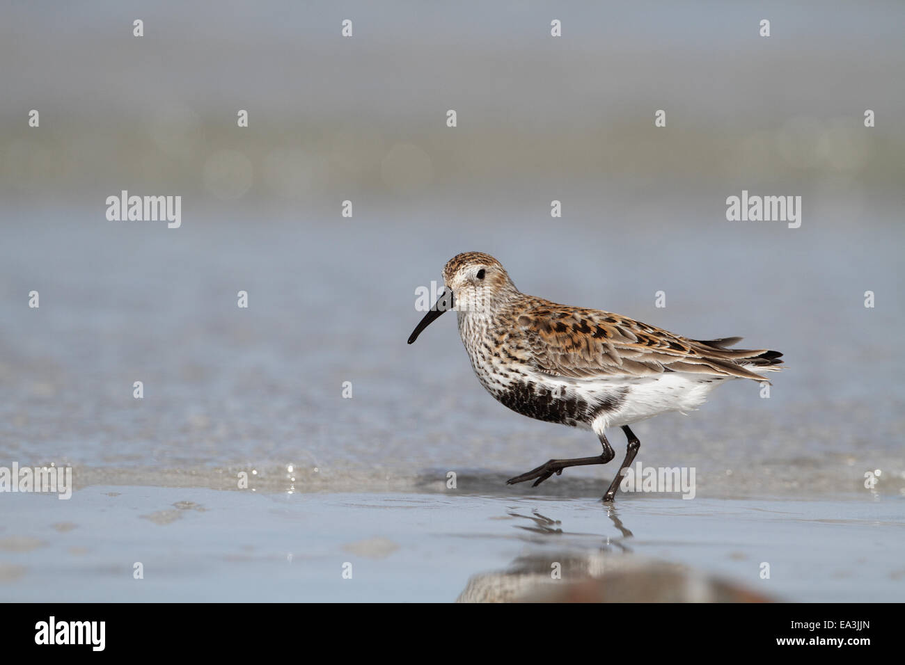 Dunlin feeding on beach on Outer Hebrides - Stock Image
