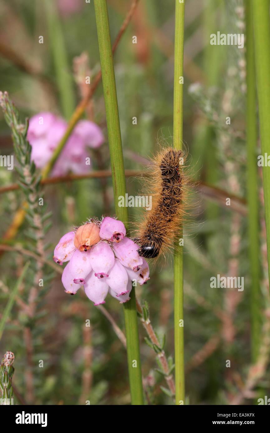 Light Knot Grass caterpilar, Acronicta menythanidis, feeding on Ling, Calluna vulgaris - Stock Image