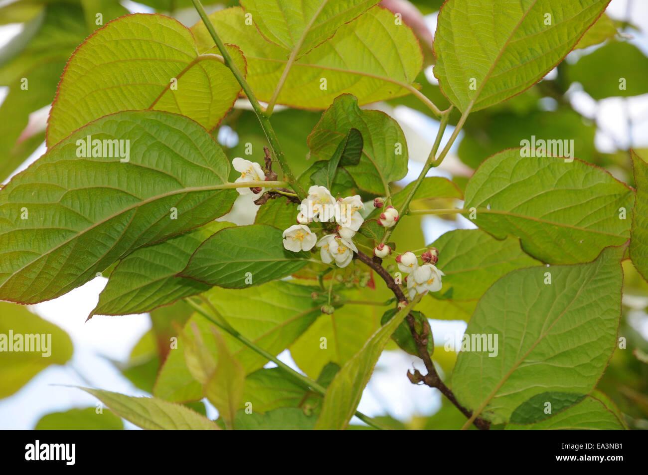 Variegated kiwi vine - Stock Image