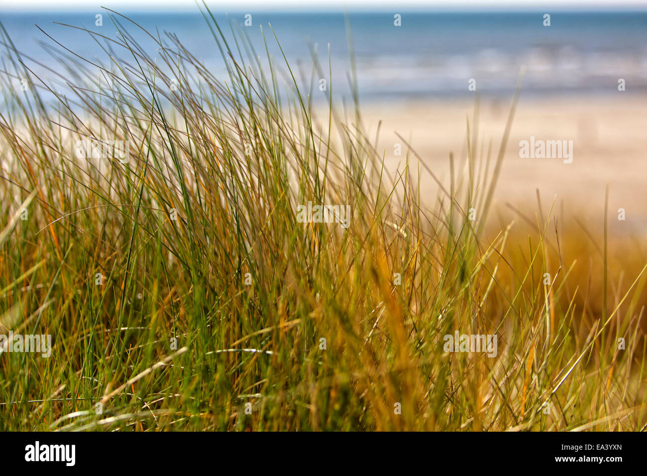 North Sea coast dune grass in the wind - Stock Image