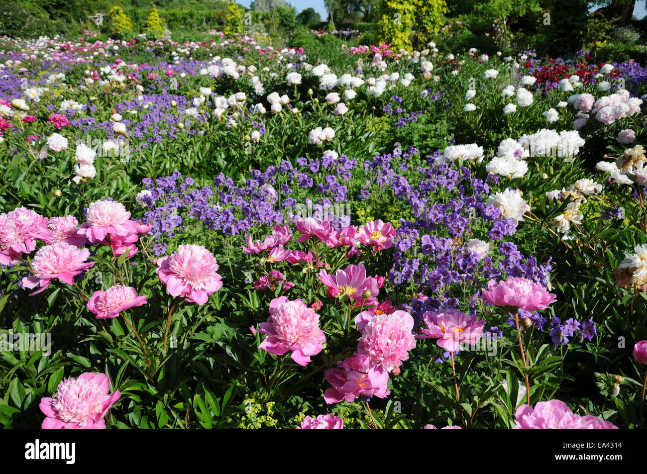 Chinese peonies Stock Photo