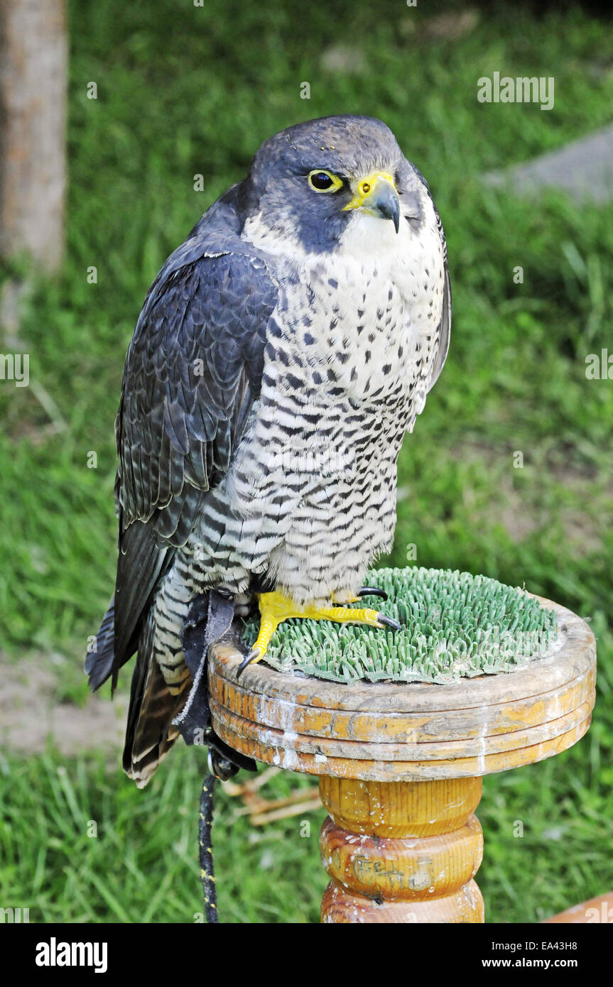 peregrine, North Rhine-Westphalia, Germany - Stock Image
