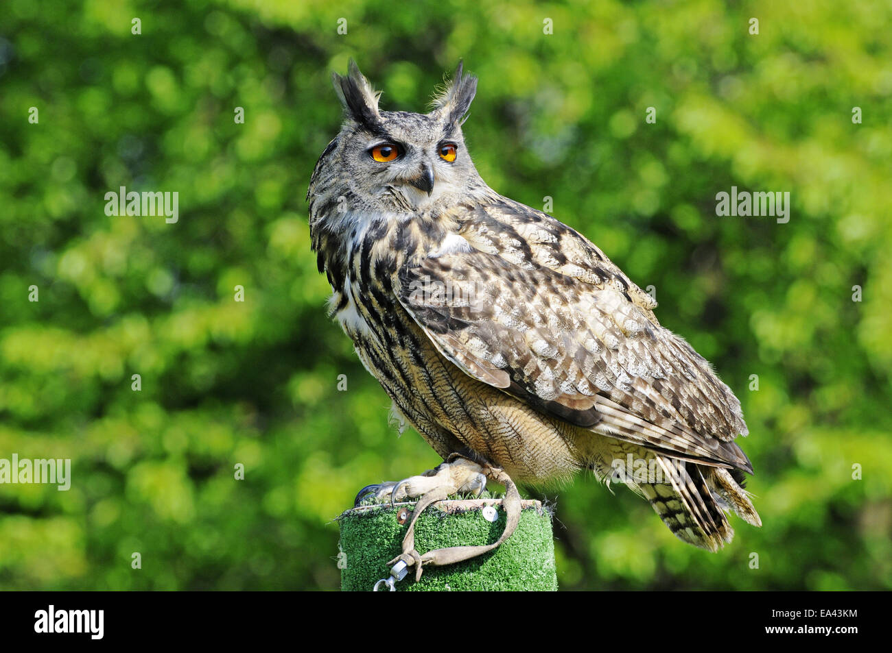 Eagle-owl, North Rhine-Westphalia, Germany - Stock Image