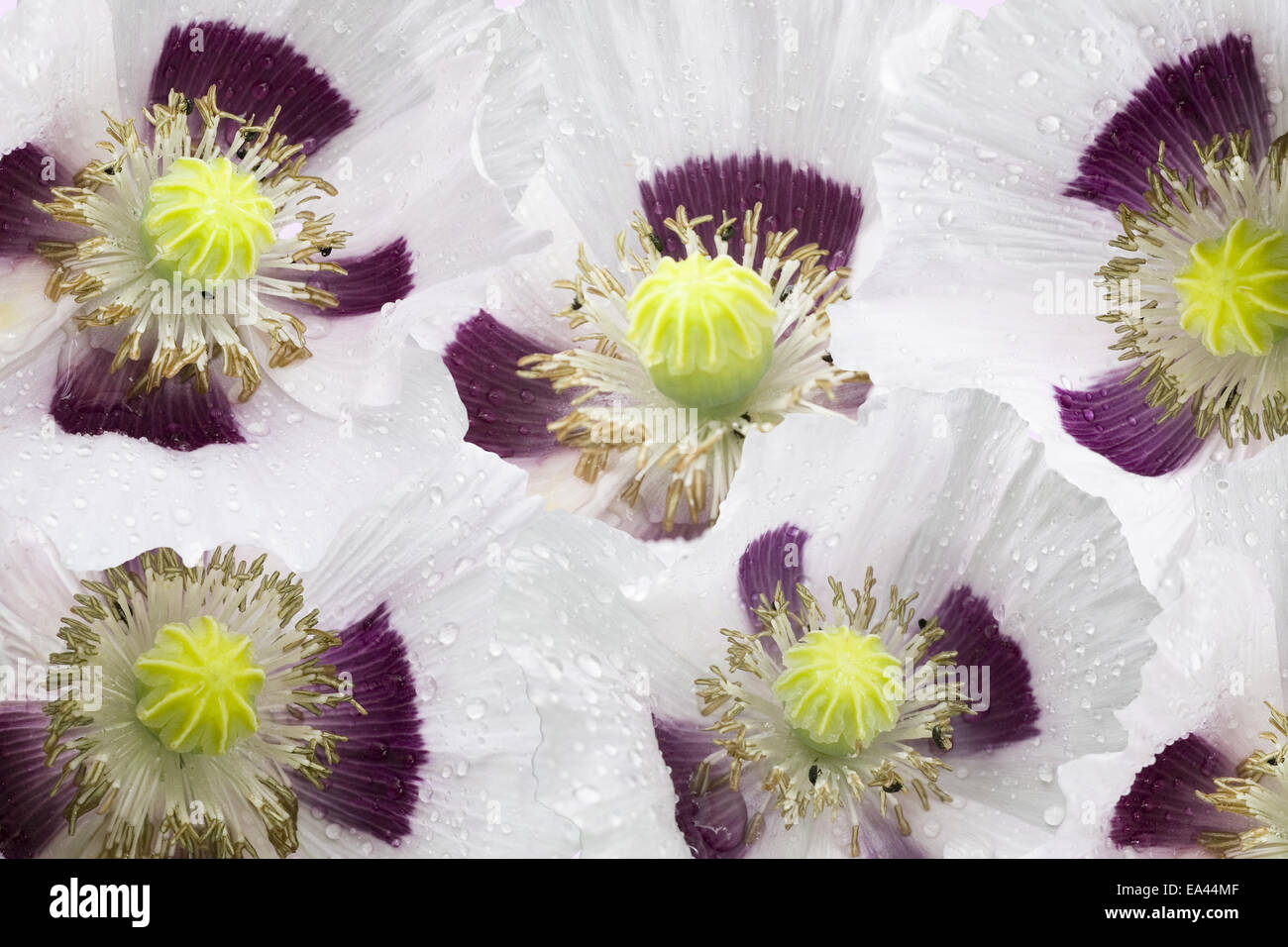 poppy flowers - Stock Image
