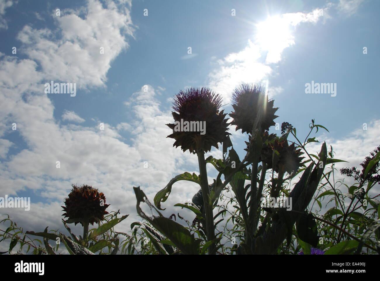 sunlight through thistles - Stock Image