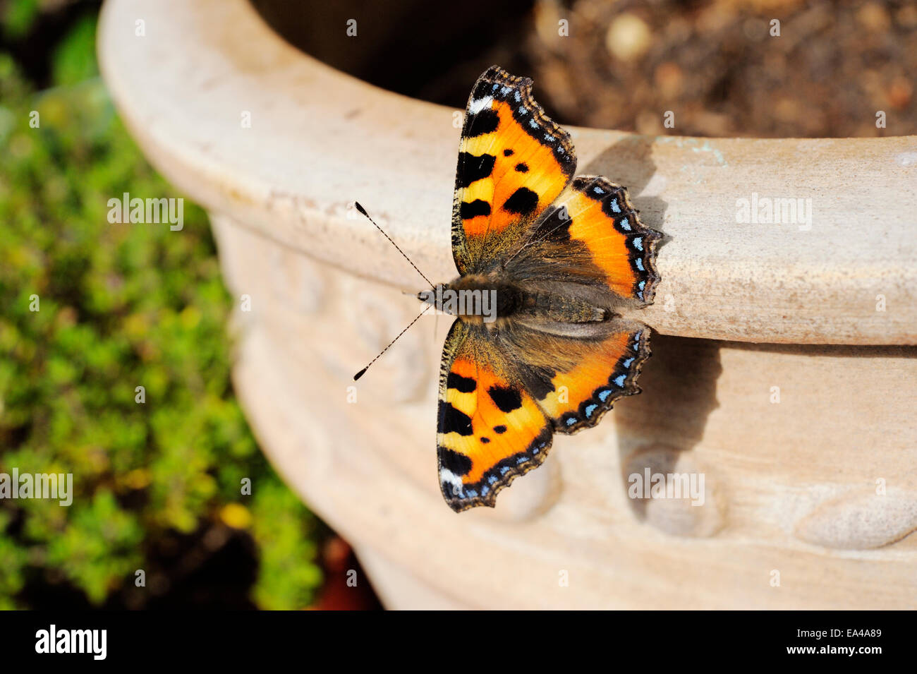 Small Tortoiseshell butterfly, Aglais urticae resting on a Terracotta plant pot, Wales, UK. - Stock Image