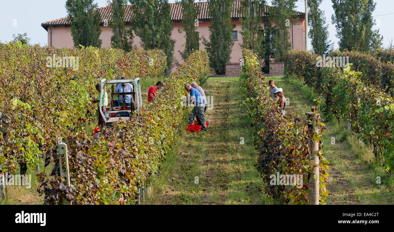 Italy,panorama of vineyards of Piedmont: Langhe-Roero and Monferrato on the World Heritage List UNESCO.Harvest at - Stock Image