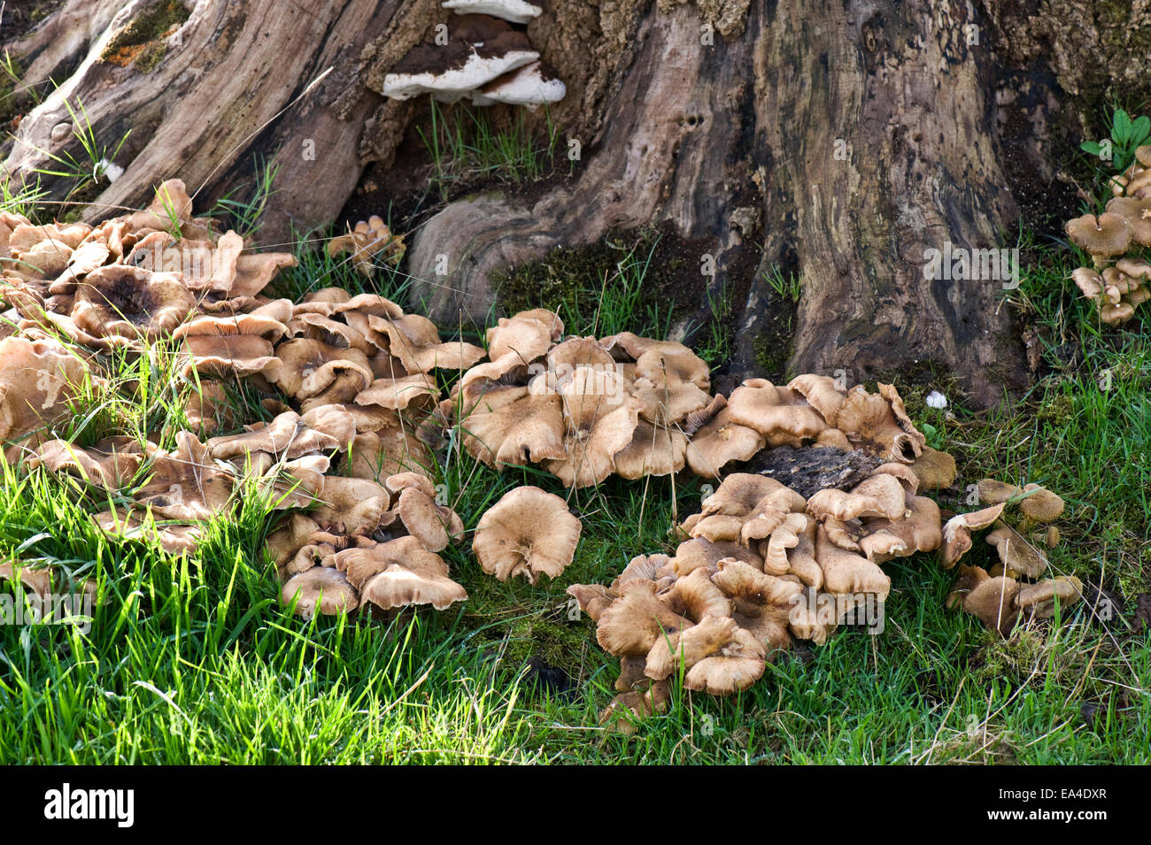 Fruiting bodies of honey fungus, Armillaria mellea, around the base of an old tree stump in autumn - Stock Image