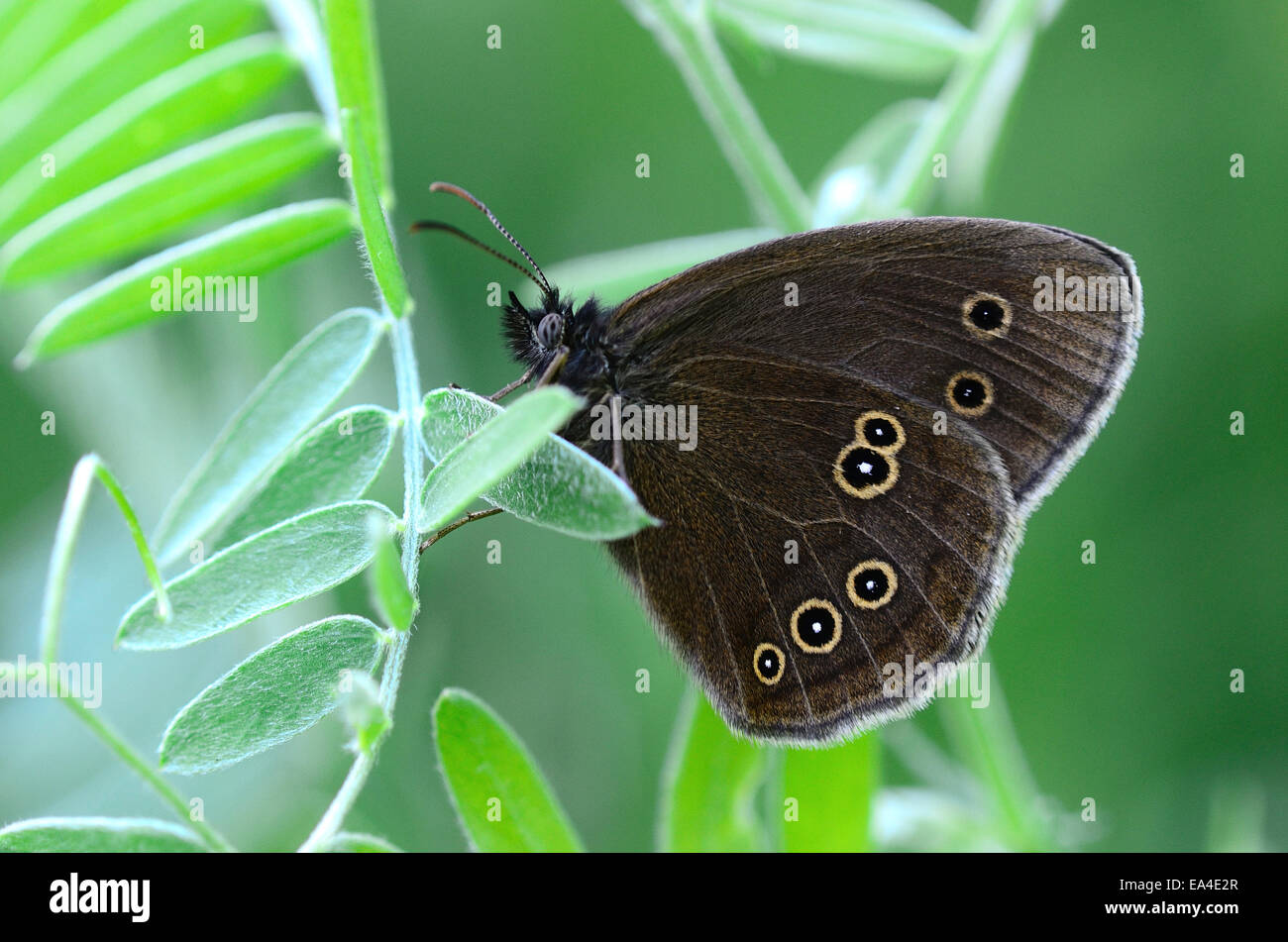 ringlet butterfly at rest - Stock Image