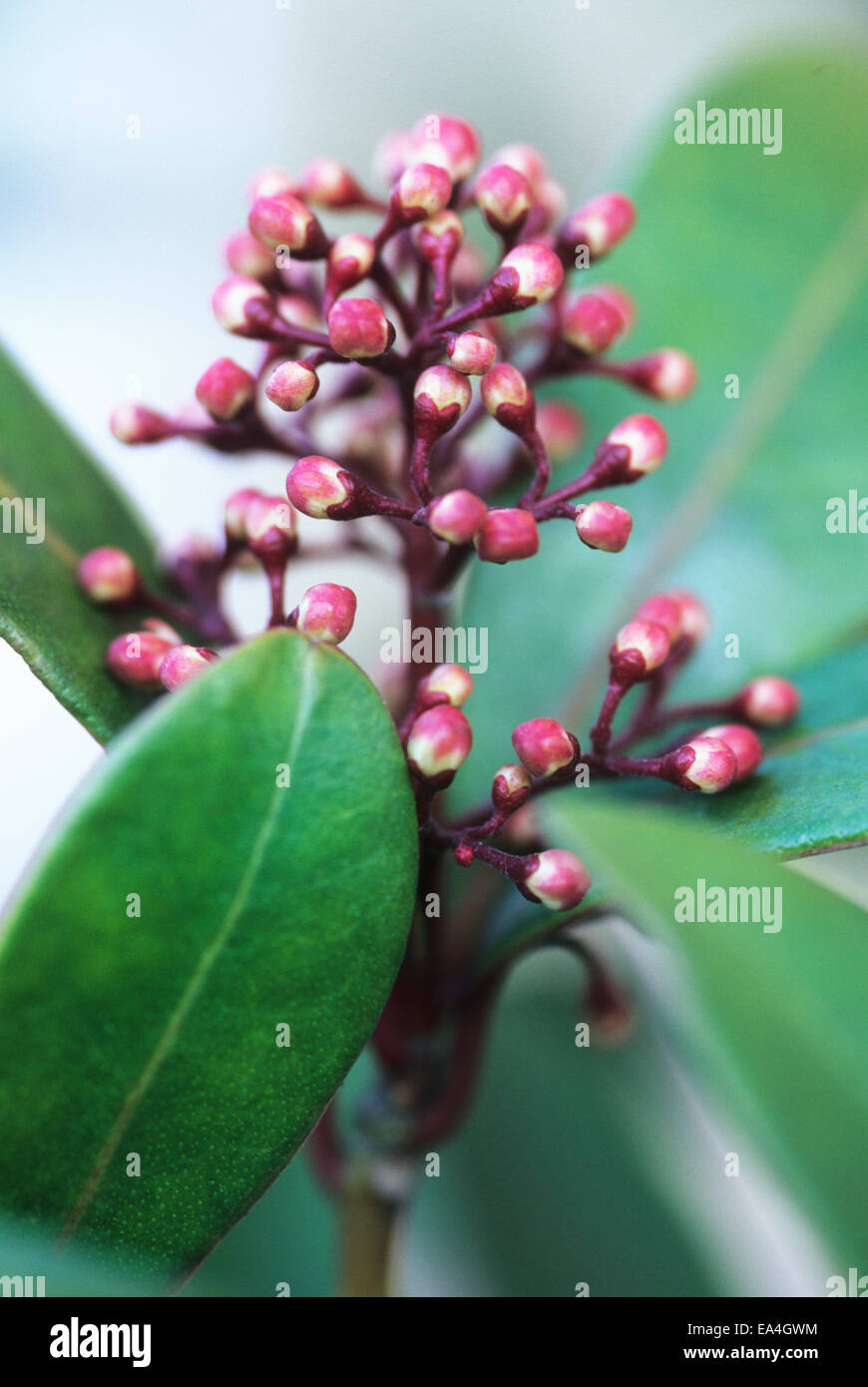 close up image of Skimmia Japonica Rubella flower head in bud - Stock Image