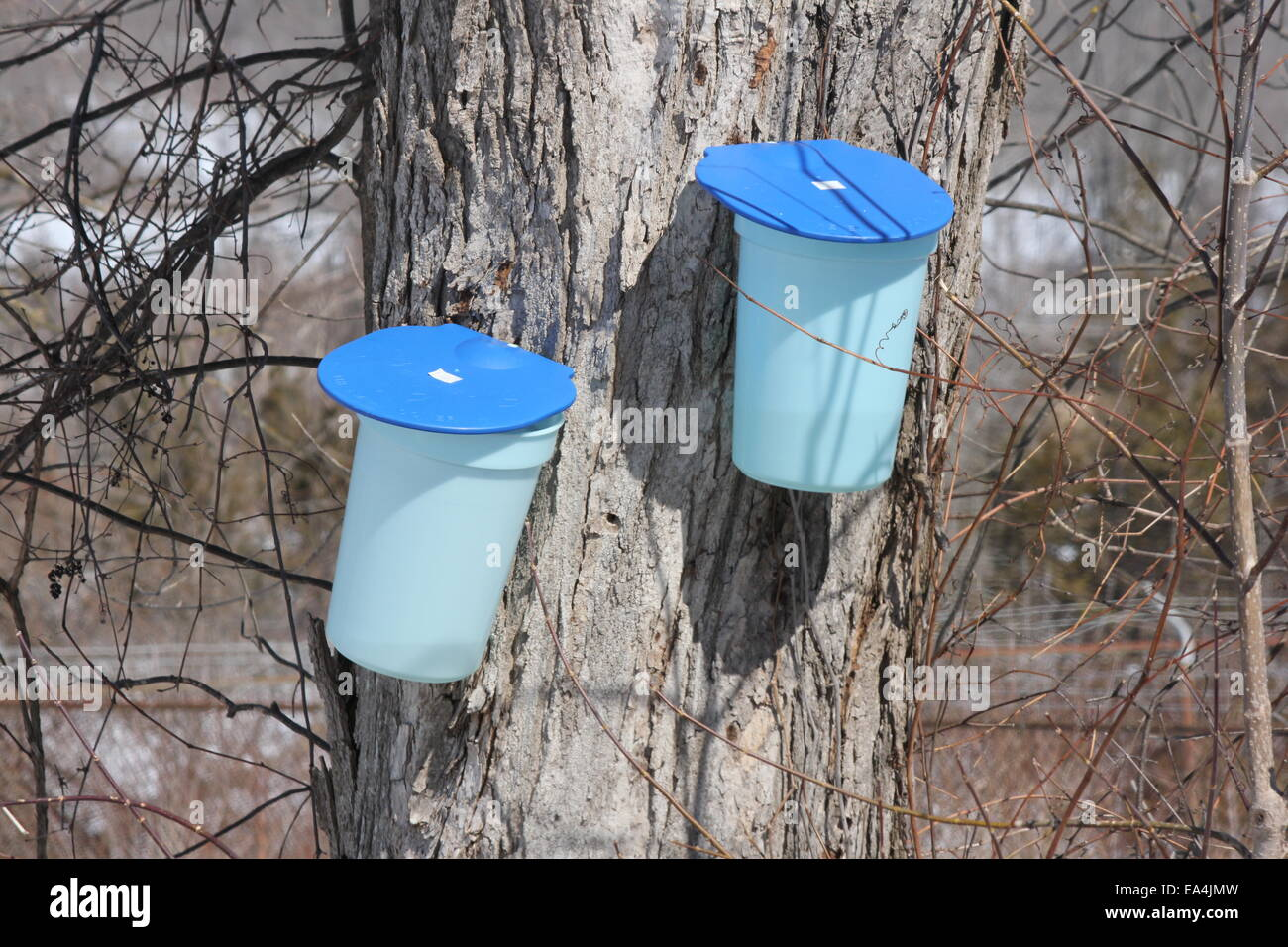 65835f1256c Plastic sap bucket catching sap from tapped maple tree to make maple syrup