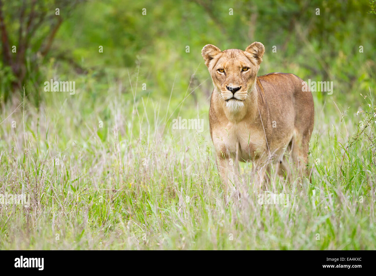 Lioness on the prowl dating