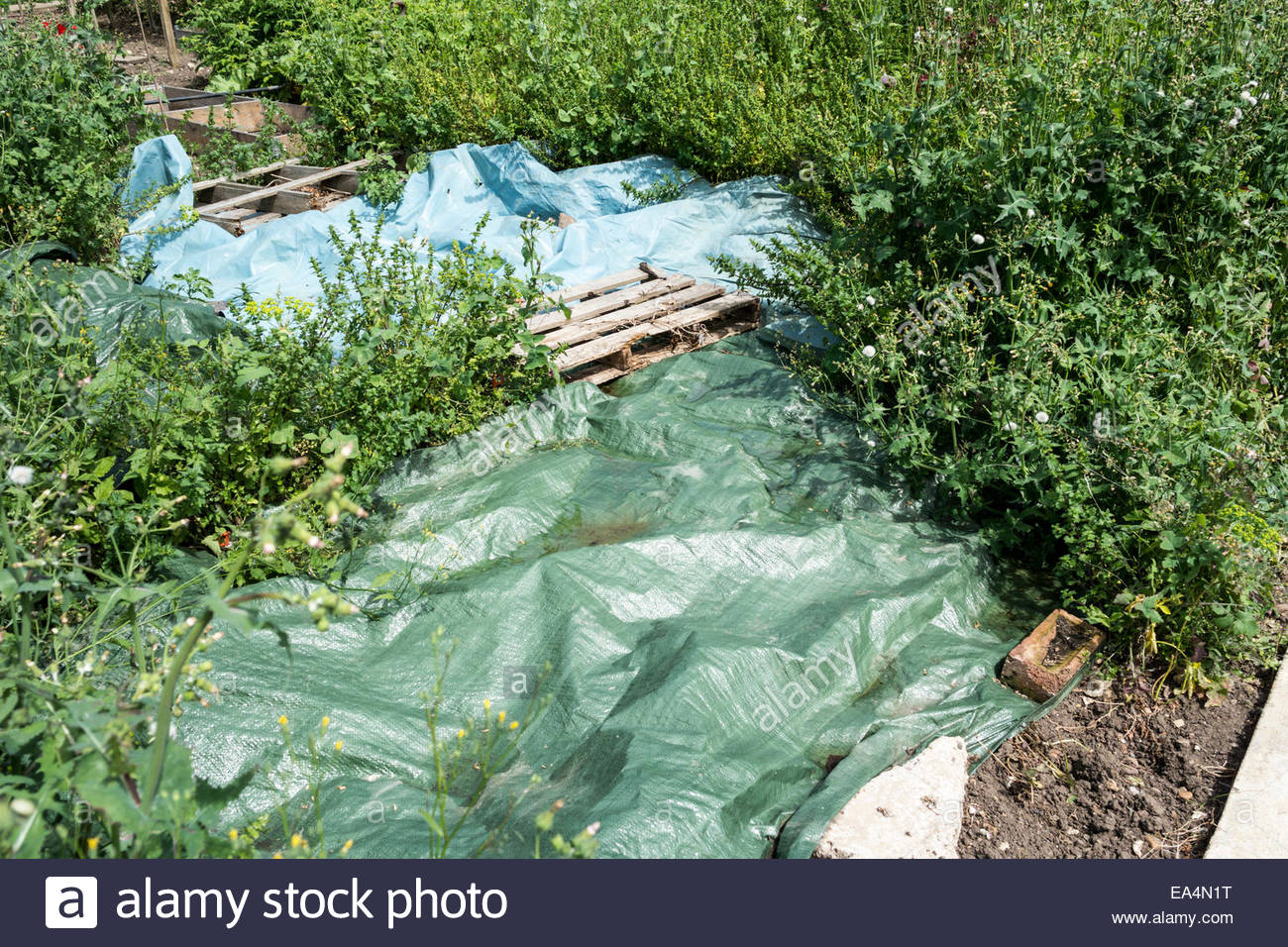 Plastic sheeting or tarpaulin being used as weed control on an allotment - Stock Image