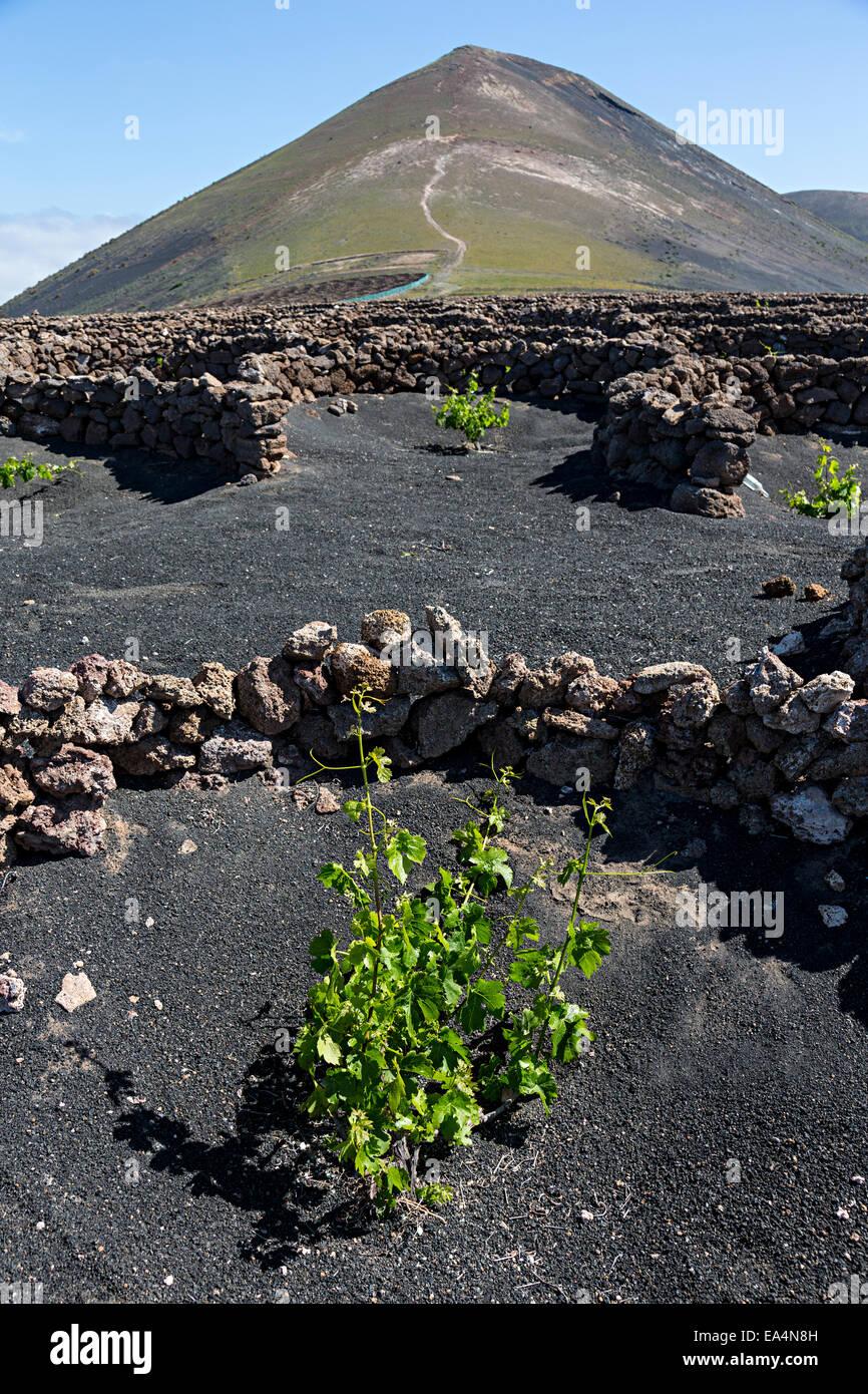Young vine in moisture trap on volcanic soil, La Geria, Lanzarote, Canary Islands, Spain - Stock Image