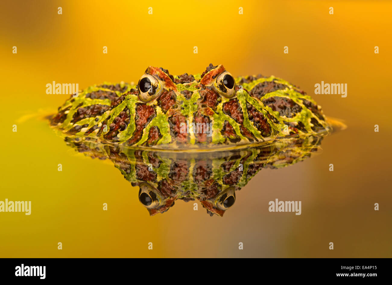 Ornate horned frog (Ceratophrys cranwelli) and its reflection in a pool Stock Photo