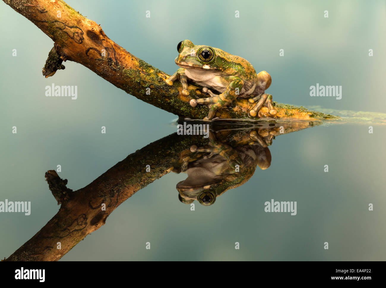 Peacock tree frog (Leptopelis vermiculatus) on a stick, with its reflection - Stock Image