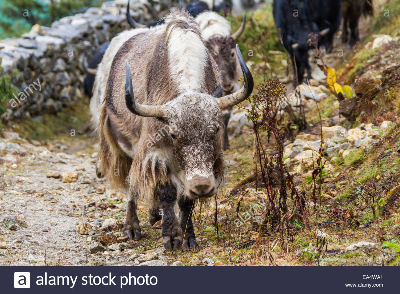 Yaks walking beside stone wall - Nepal - Stock Image
