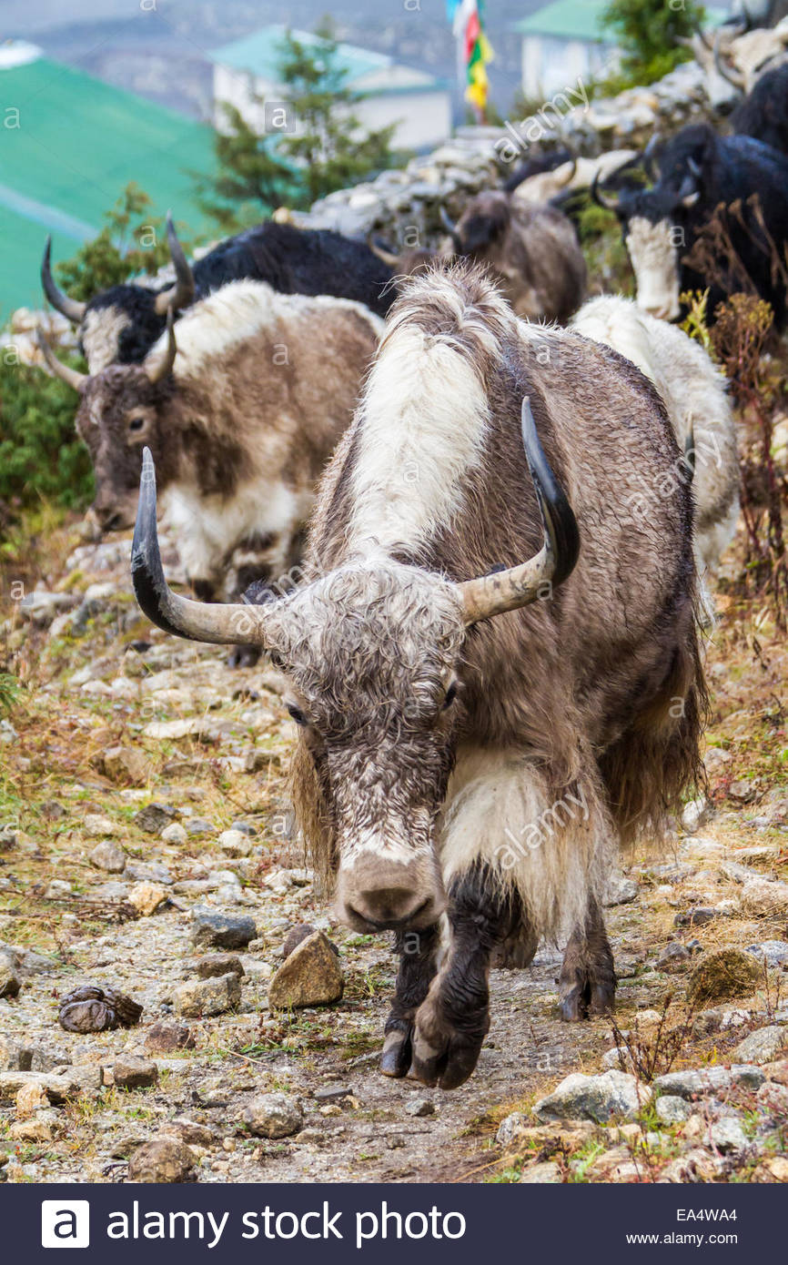 Yaks walking - Nepal - Stock Image