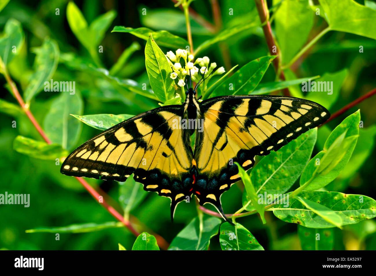 Yellow Western Tiger Swallowtail - Papilio rutulus Stock Photo