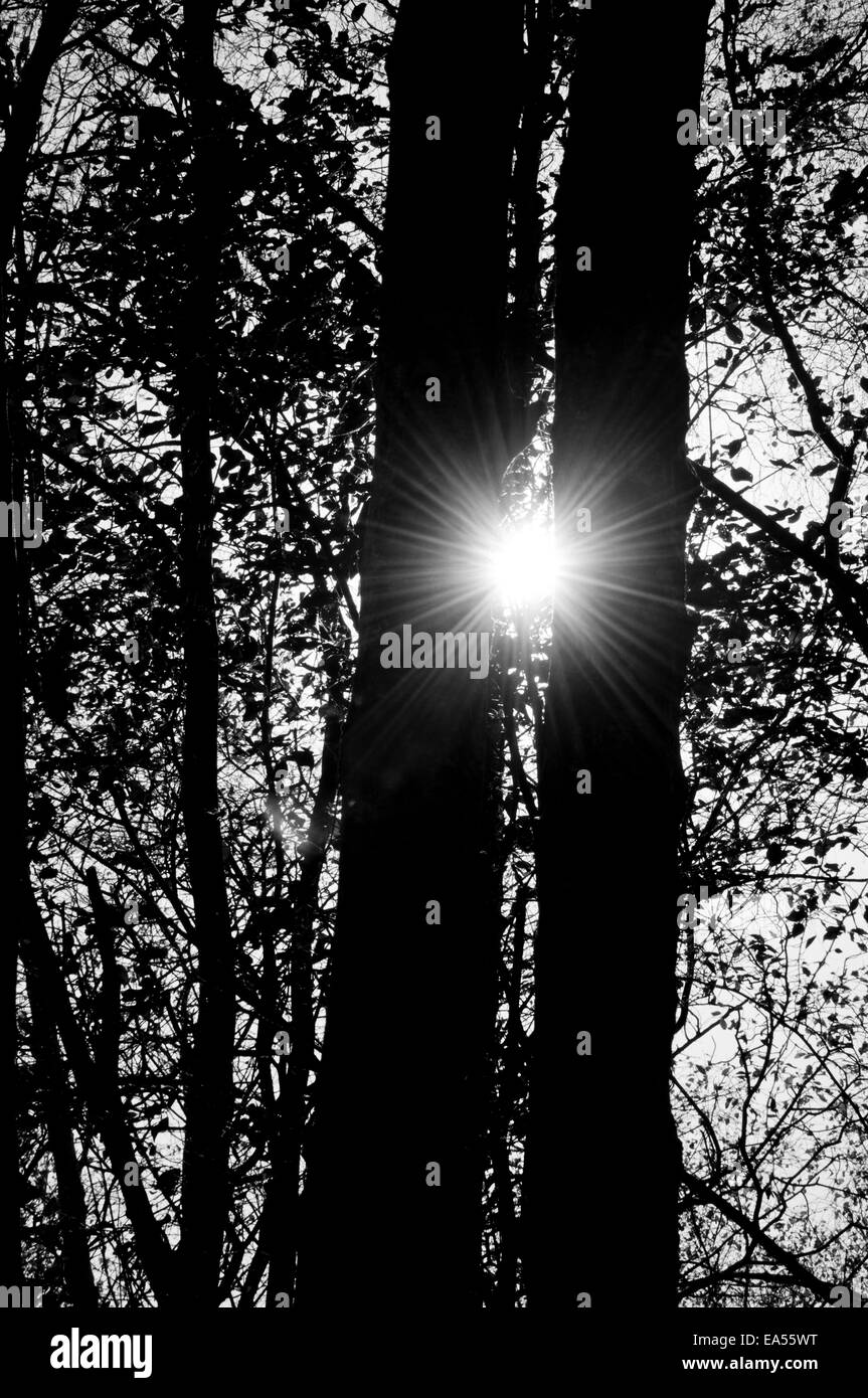 Shot of the sun between two tree trunks converted into black and white to highlight the star burst effect Stock Photo